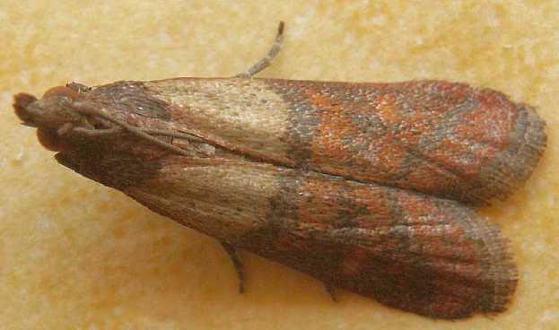 Pyrale de la farine, Plodia-interpunctella
