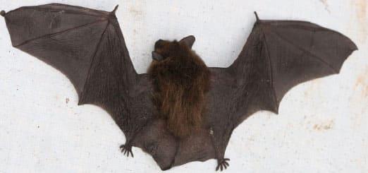 élimination Chauve souris avec exterminateur quebec