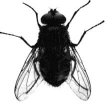 Mouche pollénie