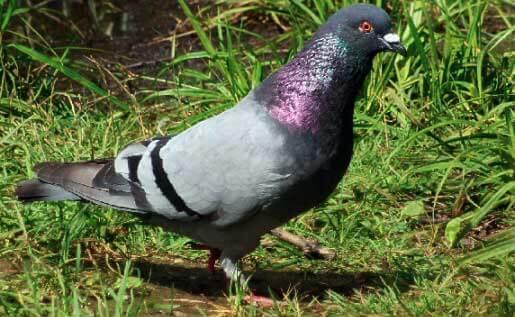 Pigeon bisset
